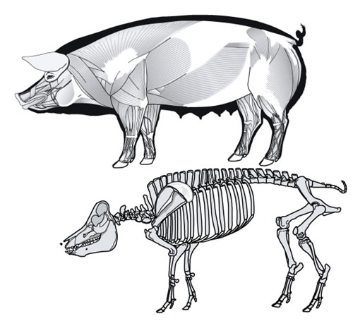 Pig skeleton anatomy